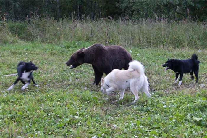 """Собаки отступают, когда медведь делает бросок в их сторону. Они понимают, что в такой момент крупная добыча им не по зубам. Шанс у них появится, только если удастся заставить добычу (оленя, например) повернуться к ним спиной и побежать. Медведя они """"крутят"""", удерживают на месте до прихода охотника."""