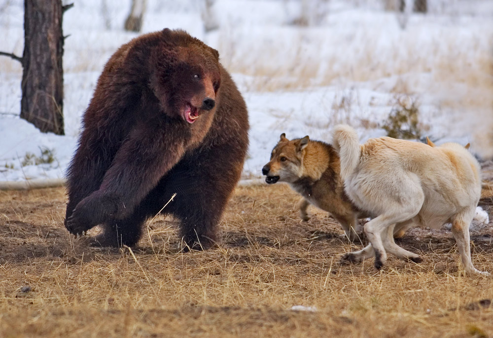 Стая, нападая, ведет себя так же как охотничьи собаки на притравке. Одна отвлекает, другая обходит сзади. Отгоняйте каждую собаку, которая приближается, но не пытайтесь преследовать, пытаться ударить, одну из них. Если вы это сделаете, кто-то обязательно постарается обойти вас в этот момент сзади.
