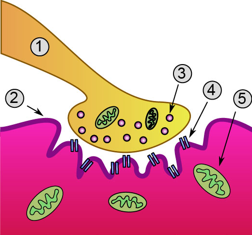 Мышечные волокна и их влияние на бег