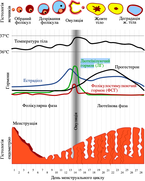 Фази менструального циклу у жінок