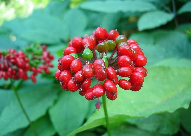 Гід зі спортивного харчування і добавок для бігунів: рослинні препарати