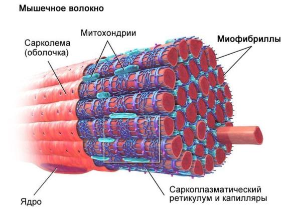 Глікоген
